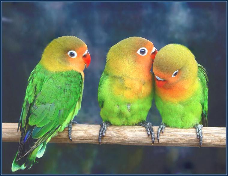papagoid