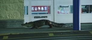alligator walmart 2