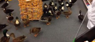 ducks in pharmacy